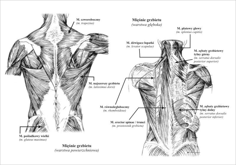 Miesnie Szyi Mięśnie Głowy i Szyi